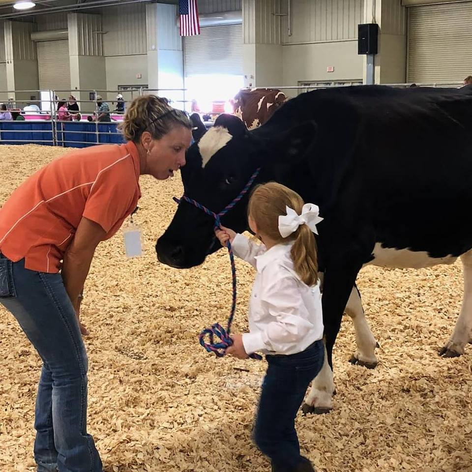 4-H'er interacts with judge while showing her dairy heifer.