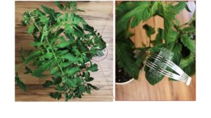 Cover photo for Plant Patch Enables Continuous Monitoring for Crop Diseases
